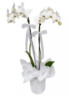 Çift Dal Orkide